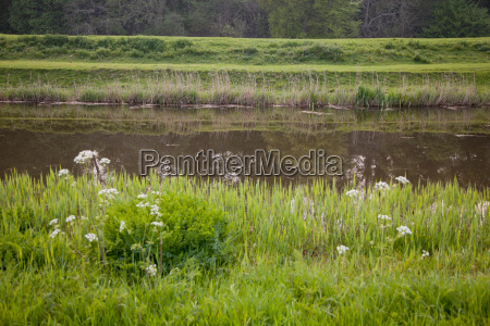 tall grass growing on river bank