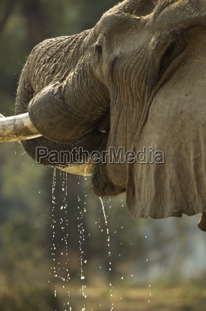 bull elephant loxodonta africana close up