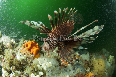 underwater view of lion fish and