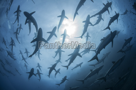 underwater silhouetted view of silky sharks