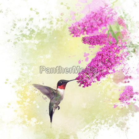 hummingbird and butterfly bush watercolor