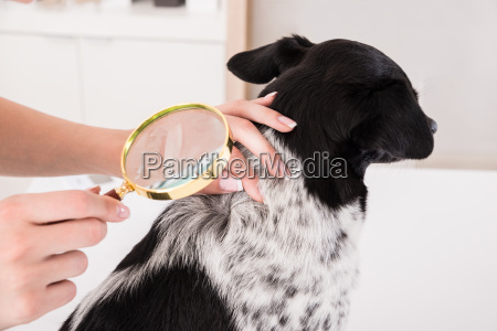 vet examining dogs hair with magnifying