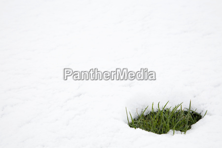 patch of grass in thawing snow