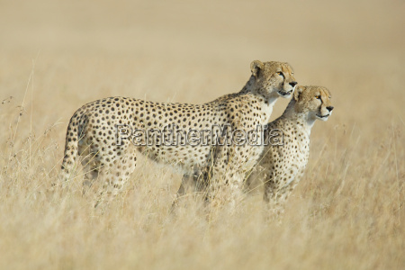 two cheetahs in the grass