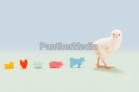 chick standing with toy farm animals
