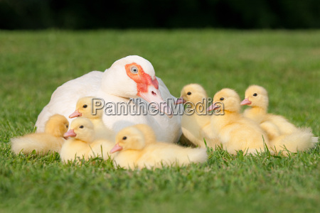 family of ducklings with mother duck