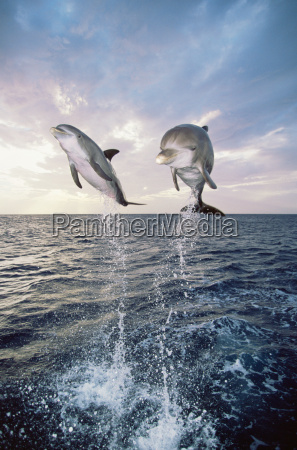 dolphins jumping out of the sea