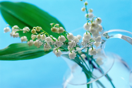 lily of the valley in a