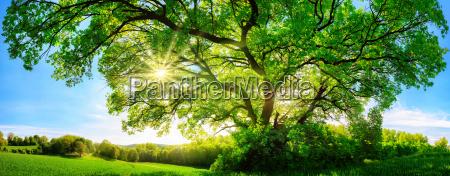 solen skinner gennem store majestaetiske eg