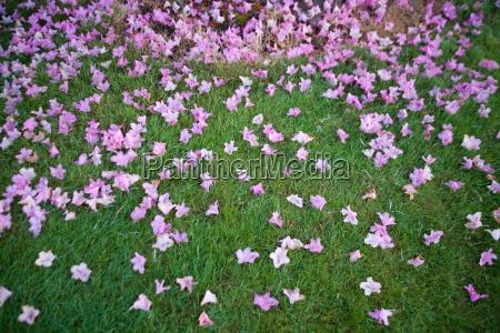 dogwood blossomlying on grass