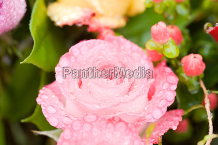 water droplets on a pink rose