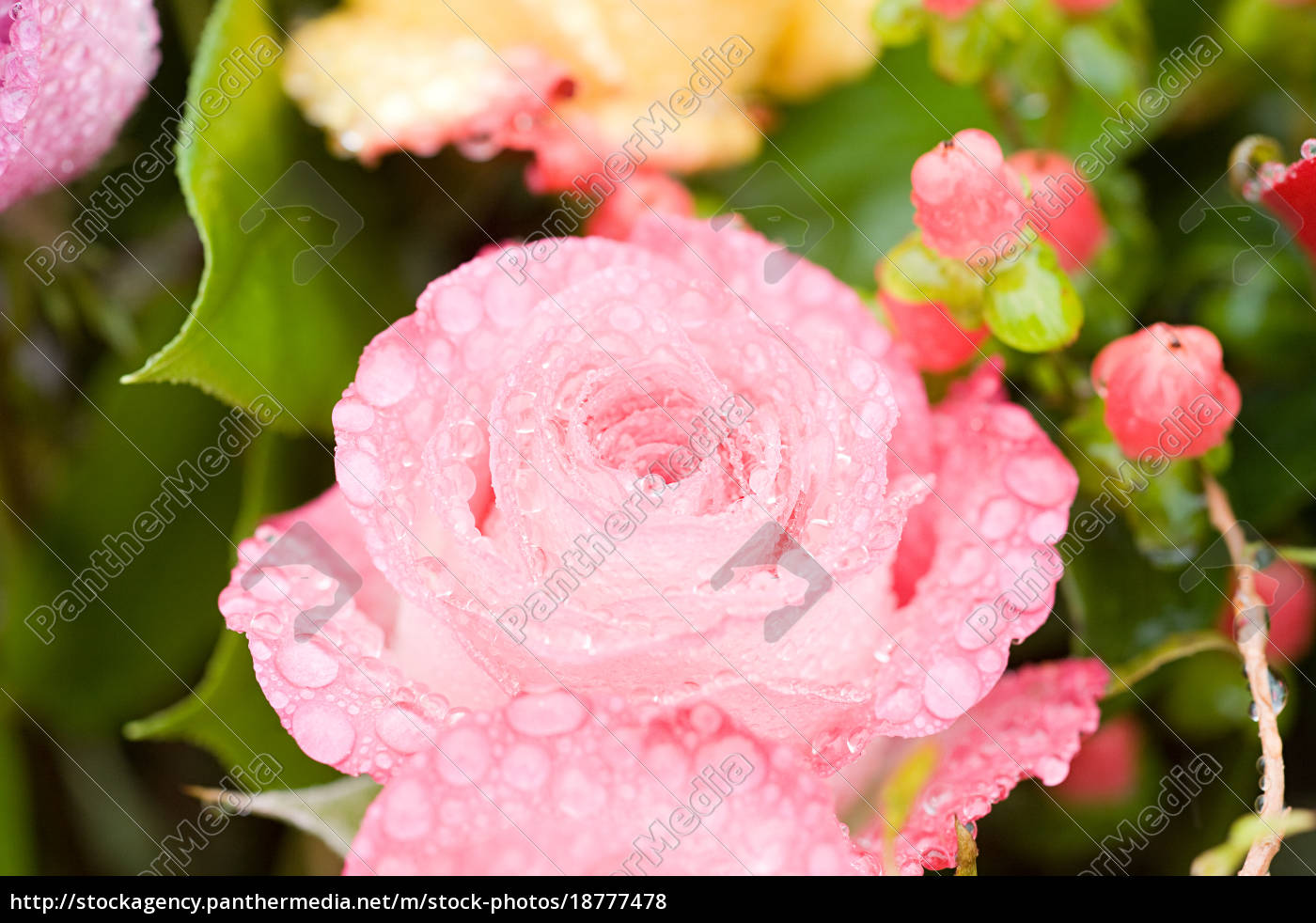 water, droplets, on, a, pink, rose - 18777478