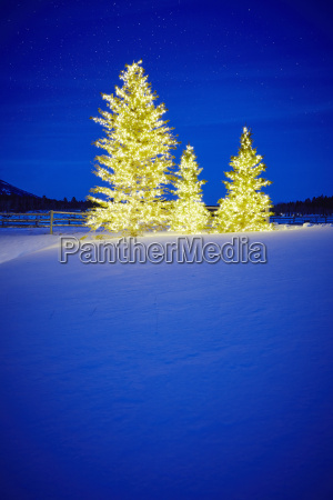row of three fir trees with