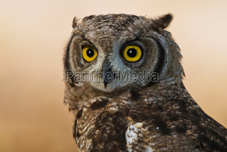 spotted eagle owl kgalagadi transfrontier park