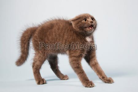 erschrockene katze mit zurueck gewoelbt