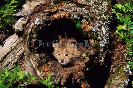 canadian lynx in tree trunk