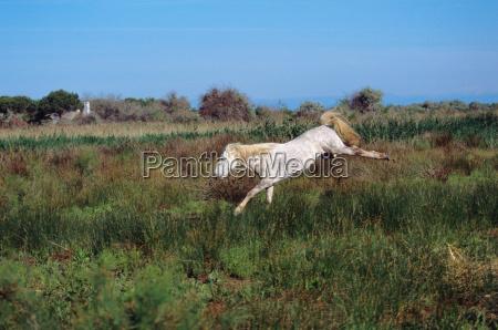 camargue horse jumping