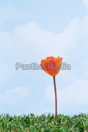 orange tulip in grass