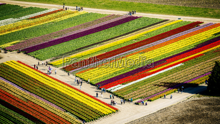 aerial view of rows of tulip