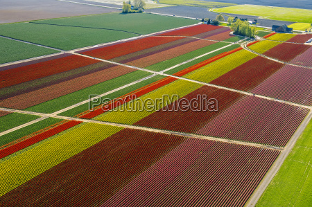 aerial view of colorful tulip fields