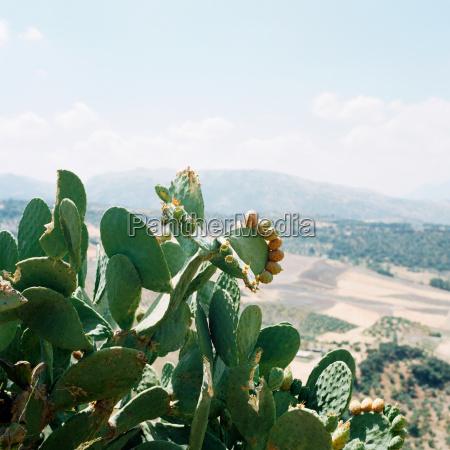 cactus plant andalucia