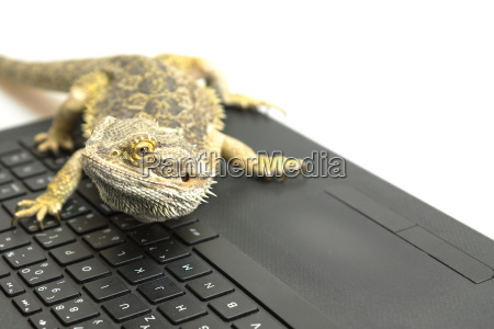 agama lizard on the notebook