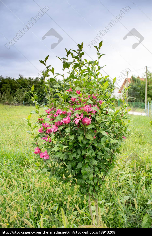 Hibiskus Im Garten Lizenzfreies Foto 18913208 Bildagentur