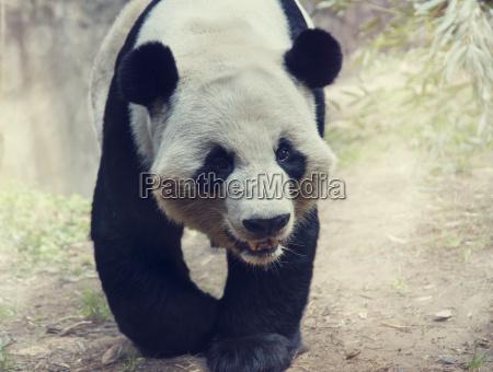 panda baeren