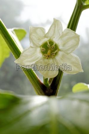 royal flower of a pepper plant