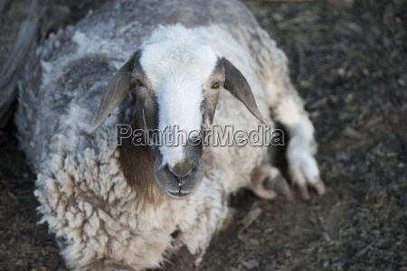 the portrait of sheep farming outdoor