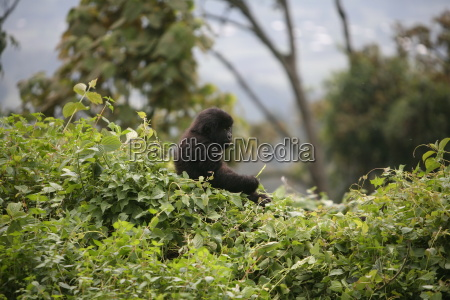 wildgorilla tier ruanda afrika tropischen wald