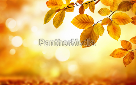 yellow autumn leaves decorate a blurred