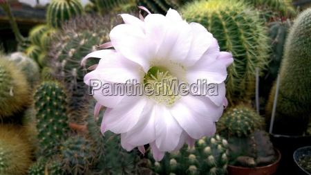 blooming cactus echinopsis sp