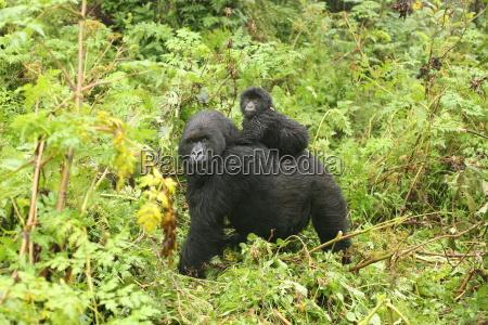 wild afrika tiere wildlife gorilla natur