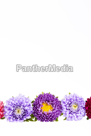 colorful aster flowers isolated on white