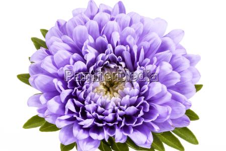 freisteller blume pflanze gewaechs bluete erbluehen