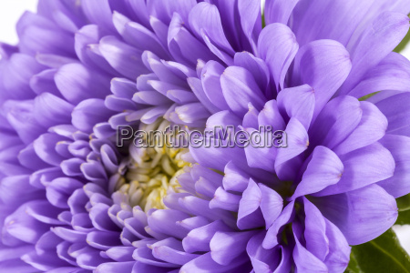 single violet flower of aster isolated