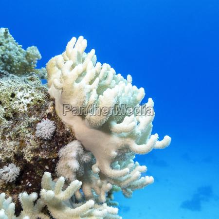 korallenriff mit weissen turbinaria mesenterina im