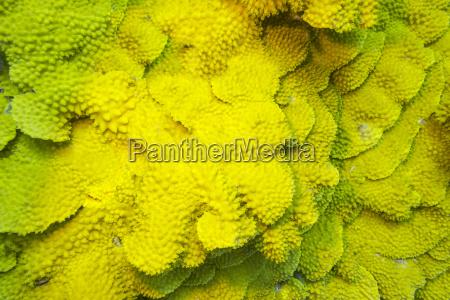 korallenriff mit gelben korallen turbinaria mesenterina
