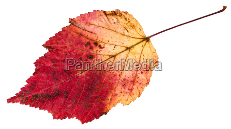 red and yellow autumn leaf of