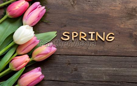 rosa tulpen und das wort fruehling