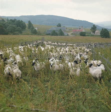 schaf farmhighland regionschottlandvereinigtes koenigreicheuropa