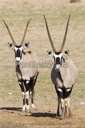 two gemsbok south african oryx oryx