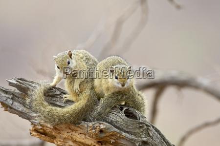 two tree squirrels paraxerus cepapi kruger