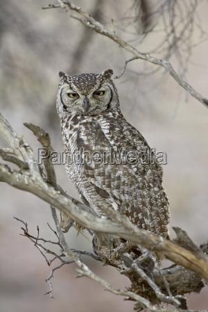 spotted eagle owl bubo africanus kgalagadi