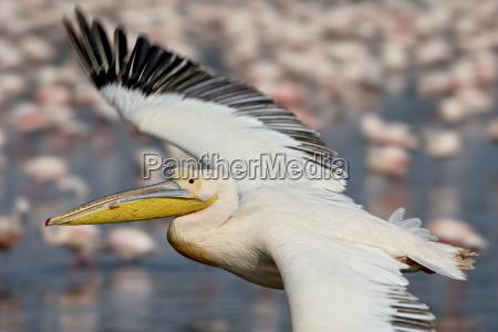 great white pelican eastern white pelican
