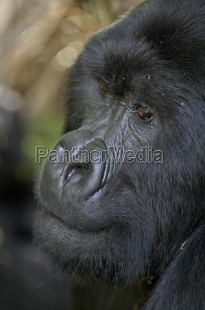 silverback mountain gorilla gorilla gorilla beringei