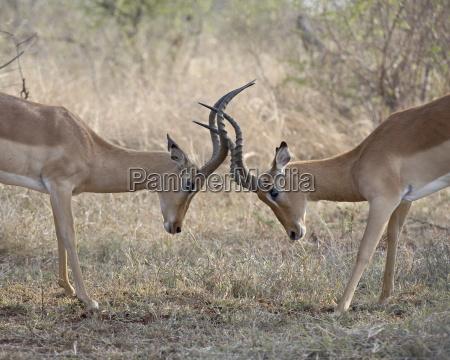 two male impala aepyceros melampus sparring