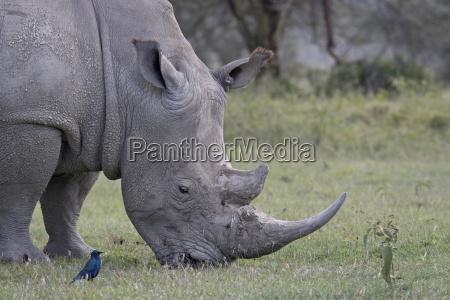white rhinoceros ceratotherium simum feeding lake