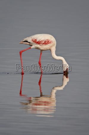 lesser flamingo phoeniconaias minor lake nakuru